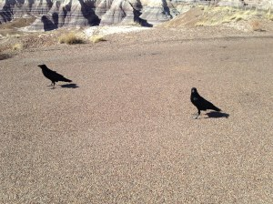 Feeding black crows at the Petrified Forest