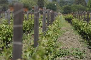 Trellised grapevines